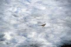 Snow mountain bird Stock Images