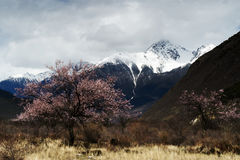 Snow Mountain And Peach Tree Royalty Free Stock Images