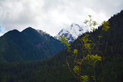 Snow mountain peak with tree in front Royalty Free Stock Images