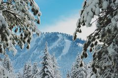 Snow on mountain pine trees Royalty Free Stock Images