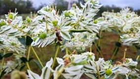 Snow On The Mountain Plant Euphorbia marginata stock photos