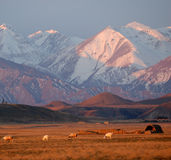 Snow Mountain in Sunrise. The sunrise gives the first rays to the snow-capped mountain. The sheep pass through the pasture land for redeployment. Tianshan Stock Photography