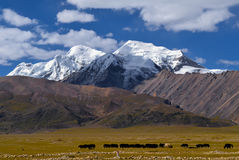 Snow mountains with cattle on the plain Royalty Free Stock Image