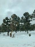 Snow. In Mt. Charleston Royalty Free Stock Photo