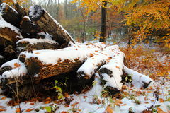 Snow and mushrooms coated tree trunks Stock Image