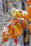 Snow on Oak Leaves Stock Image