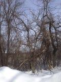 Snow och trees Royaltyfri Fotografi