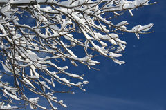 Snow On Branch Stock Image