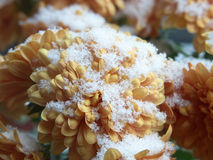 Snow On Chrysanthemum Stock Photo
