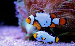 Free Snow Onyx Clownfish - Amphriprion Ocellaris X Amphriprion Percula Stock Photo - 160037170