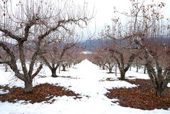 Snow Orchard Stock Images