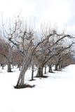 Snow Orchard Stock Photos