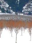Snow Orchard Stock Photo