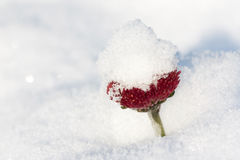 Snow over daisy flower Royalty Free Stock Images