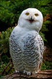 Snow owl. Standing on branch Royalty Free Stock Photo