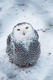 Snow owl Stock Photos