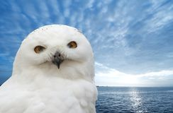 Snow owl. With a beautiful bluebackground Stock Images