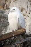 Snow owl. White polar owl in the Moscow zoo Royalty Free Stock Photos