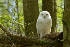A snow owl Royalty Free Stock Image