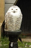 Snow owl. Royalty Free Stock Photography