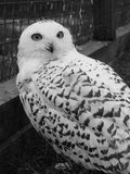 Snow Owl. Black and white Stock Photography