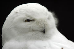 Snow owl royalty free stock photography