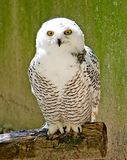 Snow Owl 7 Stock Image