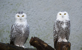 Snow owl Stock Photo