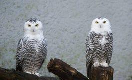 Snow owl Stock Photo