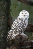 Snow Owl Royalty Free Stock Photos