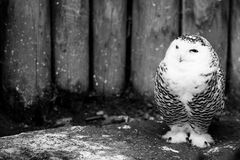 Snow owl black and white animals portraits. Snow owl - black and white animals portraits Royalty Free Stock Image