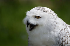 Snow Owl - Bubo scandiacus, Nyctea scandiaca Stock Photos