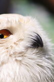 Snow owl close-up stock photos