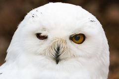Snow owl closeup headshot. Male snow owl closeup head shot in the forest stock image
