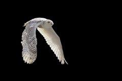 Snow owl royalty free stock image