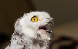 The snow owl. Eye of the snowy owl stock photo