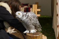 The snow owl. Eye of the snowy owl royalty free stock photo