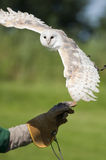 Snow owl on hand of trainer Royalty Free Stock Image