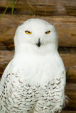 Snow owl Stock Photos
