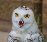 Snow Owl Royalty Free Stock Image