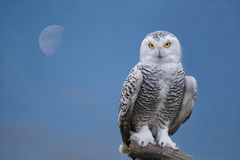Snow owl portrait. Close up shot of snow owl portrait Stock Images