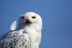 Snow owl Stock Image