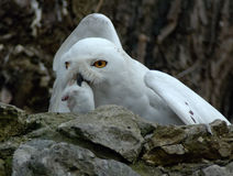 Snow owl with prey royalty free stock image