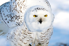 Snow owl shaking Royalty Free Stock Images