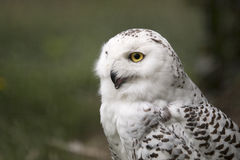A snow owl, side view, yellow eye Stock Image