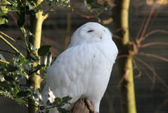 Snow owl in tree royalty free stock photo