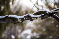 Snow på en tree förgrena sig Royaltyfri Fotografi