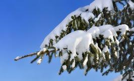 Snow på gran Royaltyfria Bilder