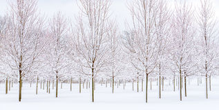 Snow packed covered trees. Snow covered trees winter grove Royalty Free Stock Photo