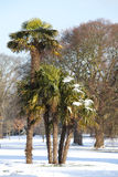Snow on Palm trees Stock Photography